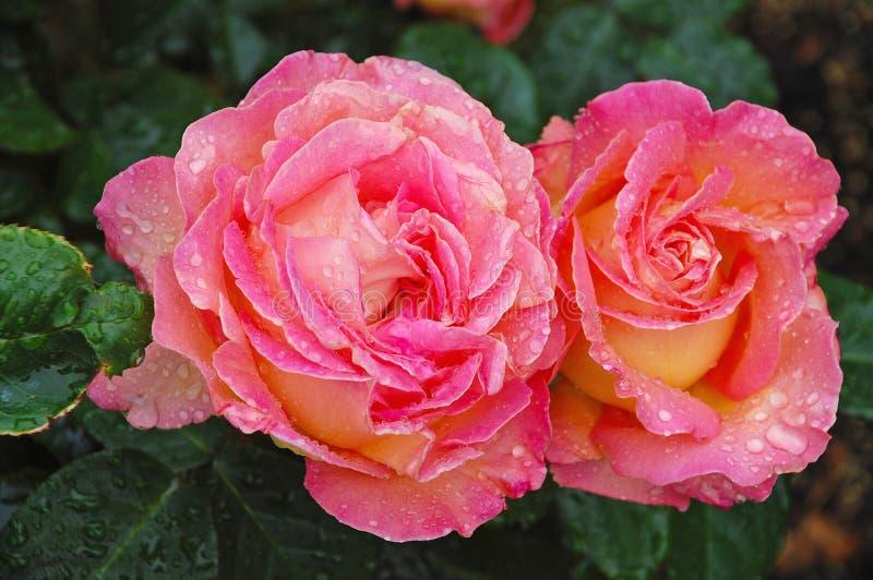 Due belle rose rosa immagini stock libere da diritti