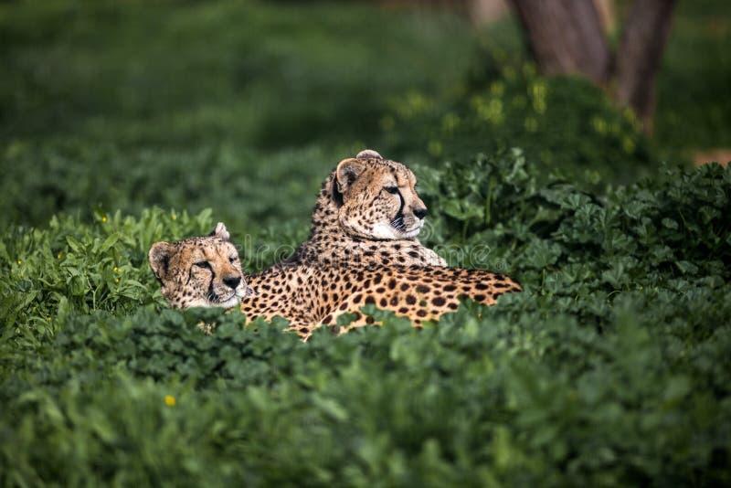 Due bello ghepardo selvaggio che riposa sui campi verdi, fine su immagini stock libere da diritti