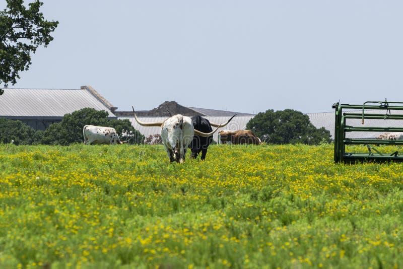 Due bestiame della mucca texana che si allontanano nel pascolo fotografie stock libere da diritti