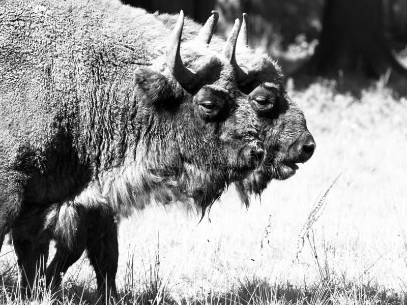 Due bisonti di legno europei nella foresta di Bialowieza fotografie stock libere da diritti