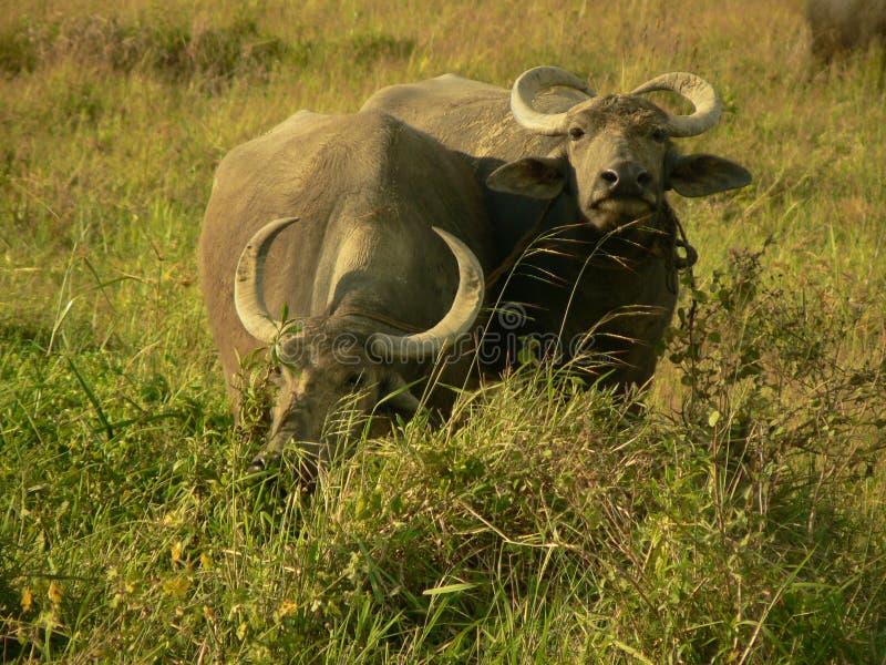 Due Buffalo in un campo di risaia fotografia stock