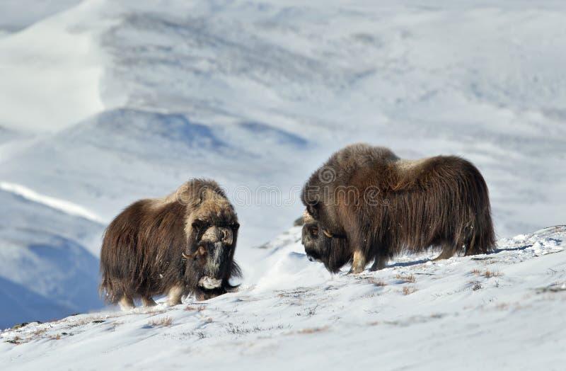 Due buoi di muschio che stanno in montagne nevose durante l'inverno fotografia stock libera da diritti