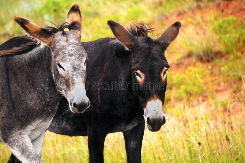 Due Burros fotografie stock libere da diritti