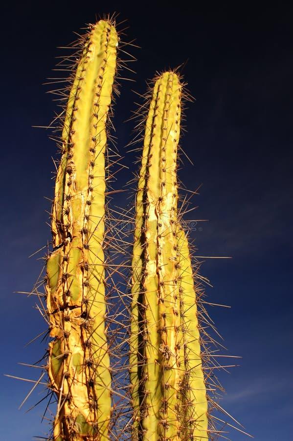 Due cactus coperto di spine #1 fotografia stock libera da diritti