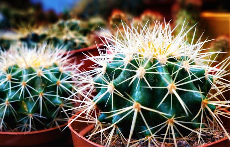 Due cactus spinosi, verde, focus selettivo fotografia stock