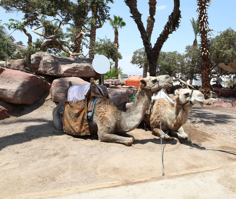 Due cammelli in Medio Oriente fotografia stock libera da diritti