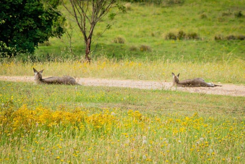 Due canguri che riposano sulla strada su un pomeriggio soleggiato immagini stock