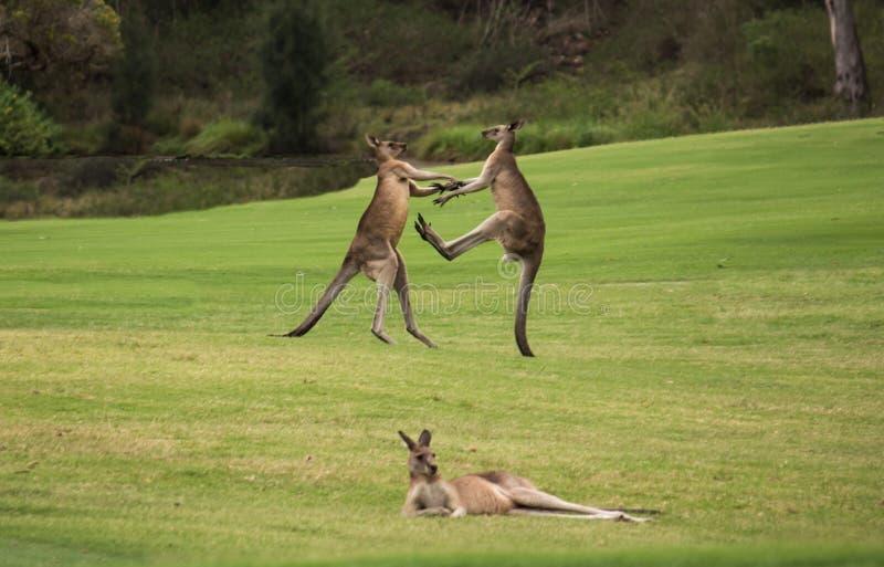 Due canguri indigeni australiani maschii che combattono nel campo di erba dietro il riposo del canguro femminile fotografia stock