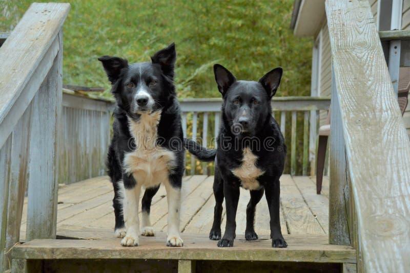 Due cani fotografia stock