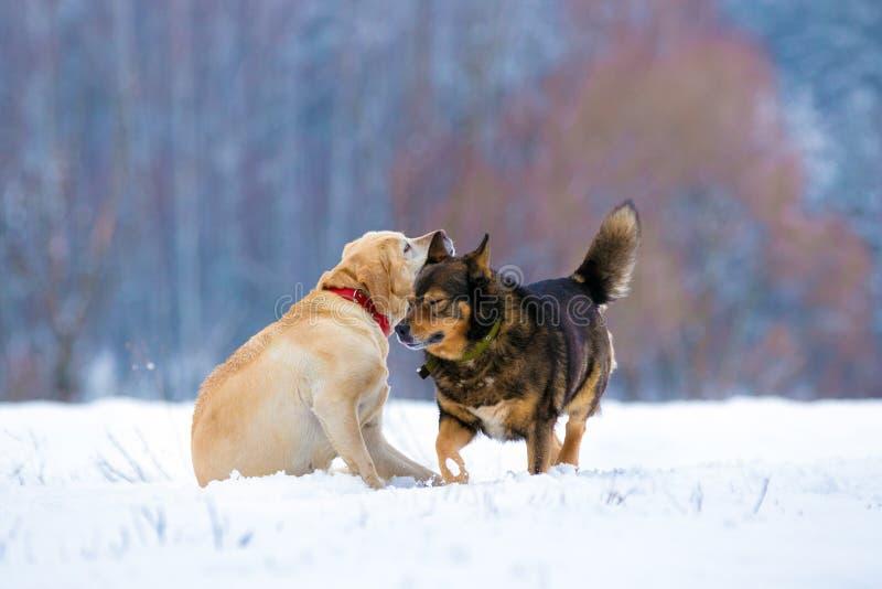 Due cani allegri che giocano all'aperto nel campo nevoso immagine stock
