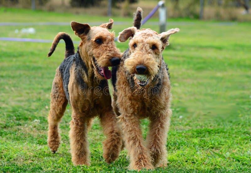 Due cani allegri che inseguono & che giocano a vicenda fotografia stock