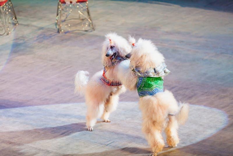 Due cani bianchi stanno ballando nell'arena del circo immagine stock libera da diritti