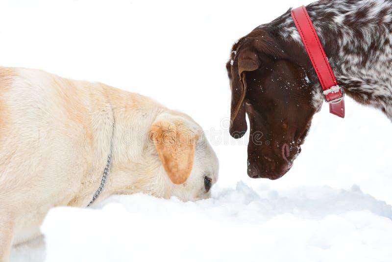 Due cani che cercano nella neve fotografia stock