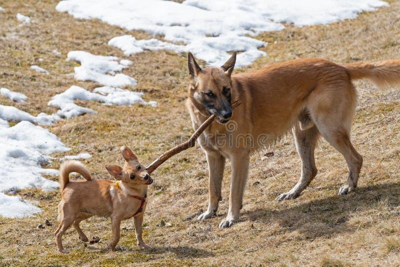 Due cani che giocano con il bastone di legno nel prato dell'erba asciutta fotografia stock