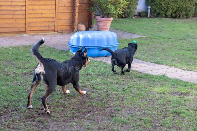 Due cani che giocano insieme all'aperto piccolo e grande cane, cane della montagna di Appenzeller immagine stock libera da diritti
