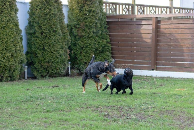 Due cani che giocano insieme all'aperto piccolo e grande cane, cane della montagna di Appenzeller fotografia stock