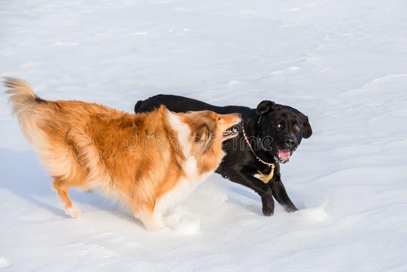 Due cani che giocano insieme sul campo di neve di inverno, fotografia stock