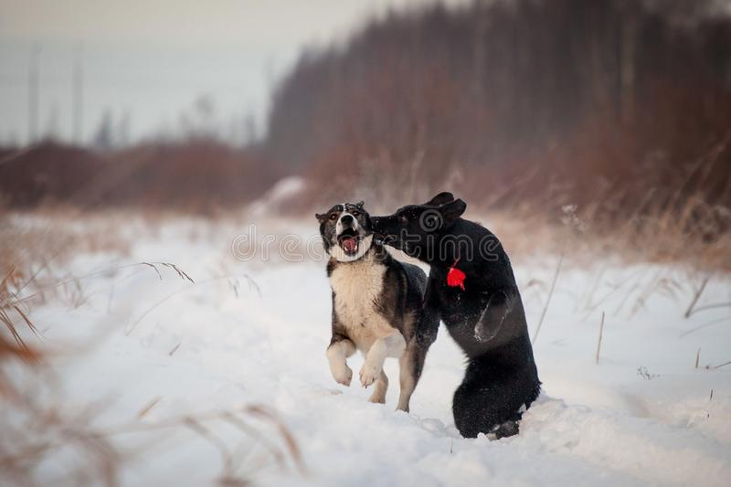 Due cani che giocano nel campo di inverno fotografie stock