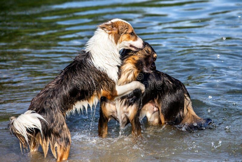 Due cani che giocano nel comportamento dell'acqua, di gerarchia e del pacchetto fotografia stock