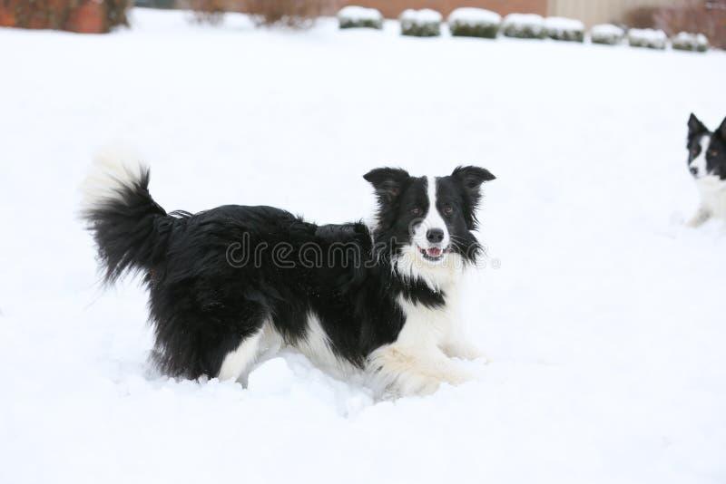 Due cani che giocano nella neve fotografia stock