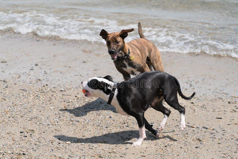 Due cani che si inseguono su una spiaggia immagine stock