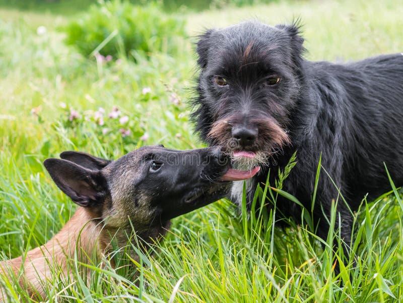 Due cani che si leccano, esempio di comportamento del cane, communicat immagini stock libere da diritti