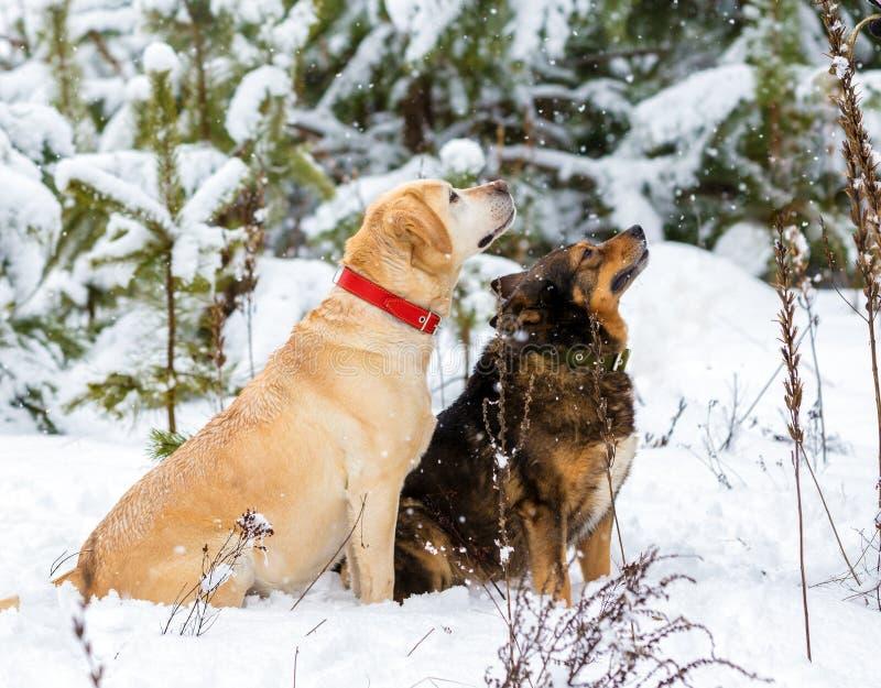 Due cani che si siedono insieme in una foresta nevosa fotografia stock libera da diritti