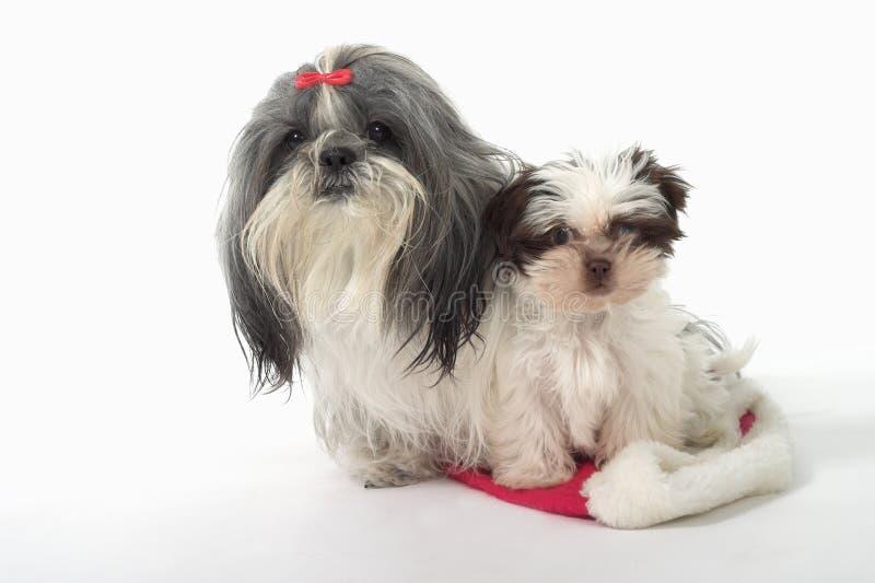 Due cani che si siedono su un cappello della Santa immagine stock