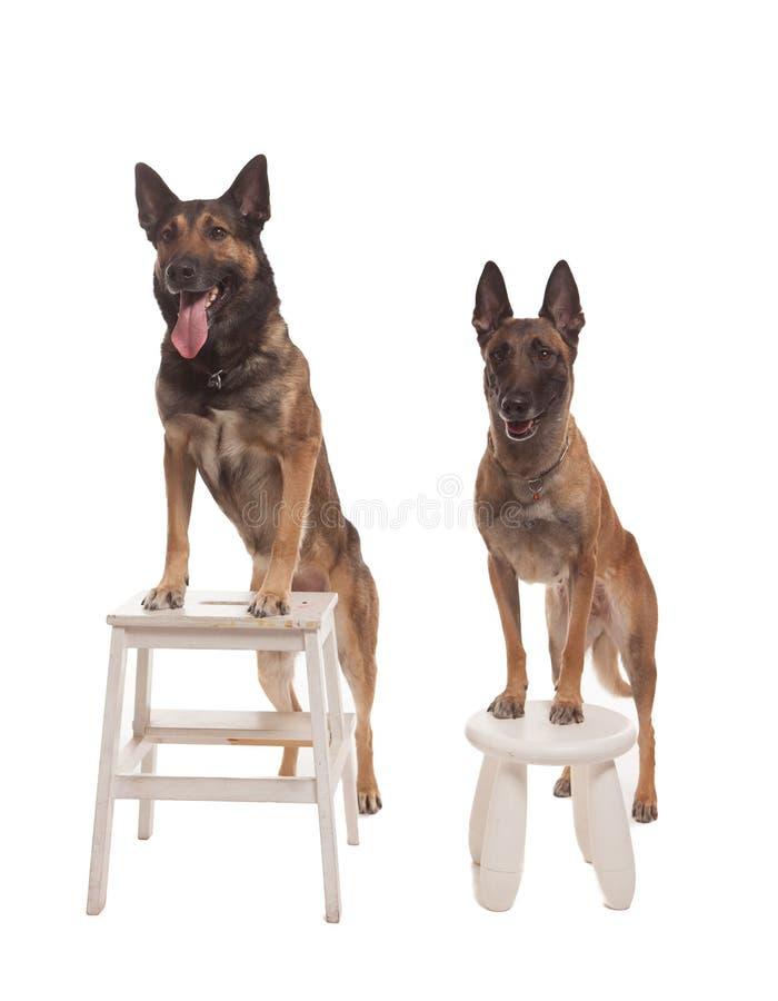 Due cani che si siedono sul fondo fotografie stock