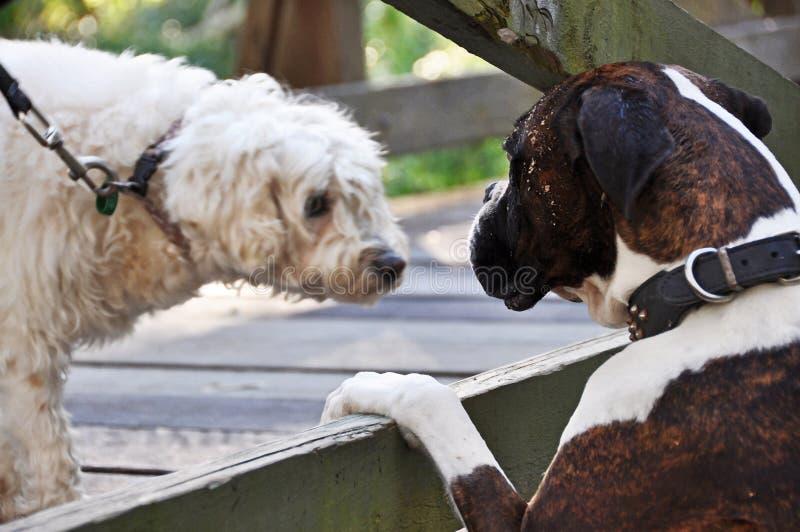 Due cani che socializzano la lingua parlante del cane di riunione parcheggiano il campo da giuoco fotografie stock libere da diritti