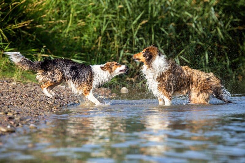 Due cani che stanno sulla riva del fiume da un lago, comportamento del pacchetto, r fotografia stock libera da diritti