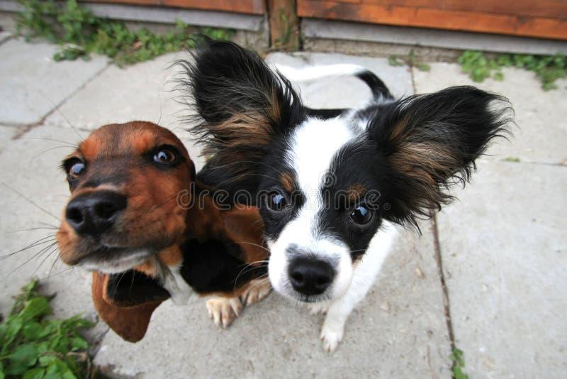 Due cani curiosi fotografia stock