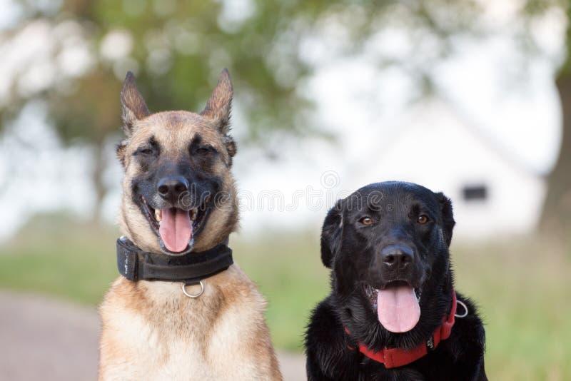 Due cani davanti alla macchina fotografica fotografia stock