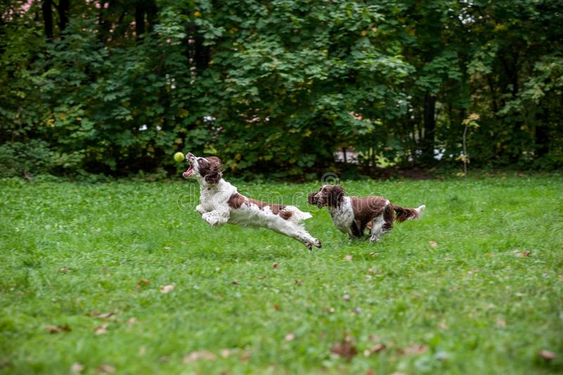 Due cani degli spaniel inglesi da salto che corrono e che giocano sull'erba Giocando con la pallina da tennis fotografia stock libera da diritti
