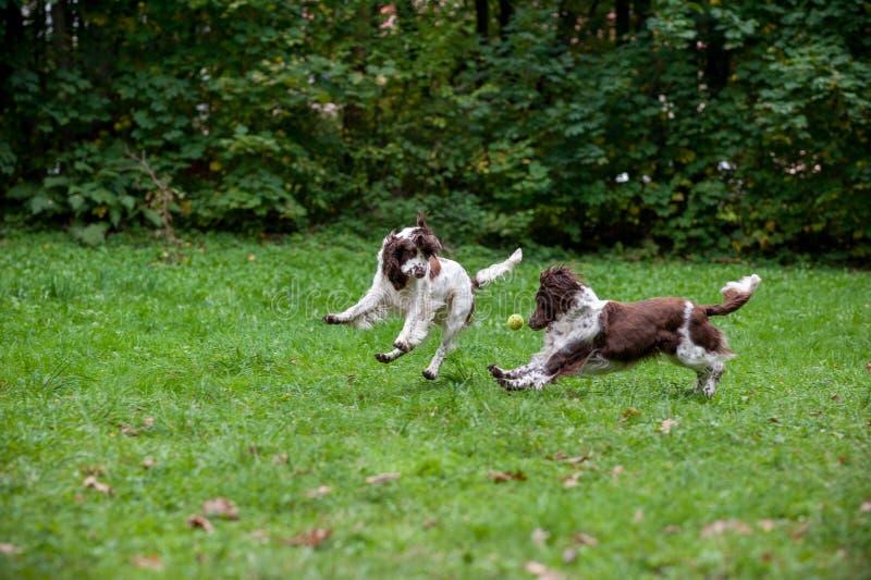 Due cani degli spaniel inglesi da salto che corrono e che giocano sull'erba Giocando con la pallina da tennis fotografia stock