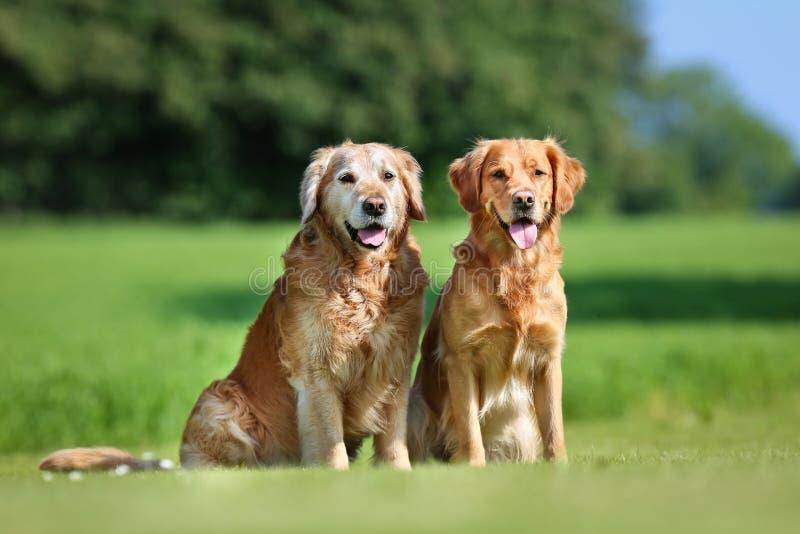 Due cani del documentalista dorato immagine stock libera da diritti