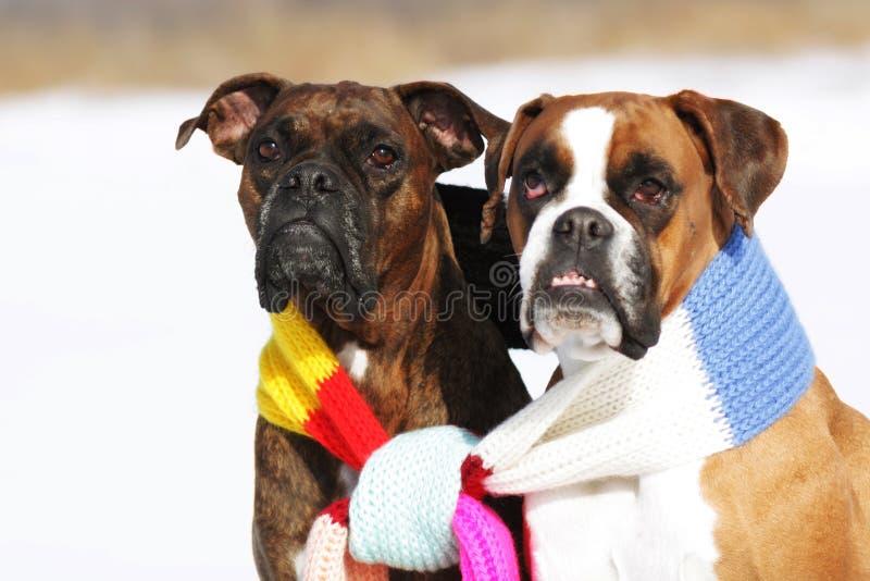 Due cani del pugile della razza che si siedono nell'inverno sulla neve, socio immagine stock libera da diritti