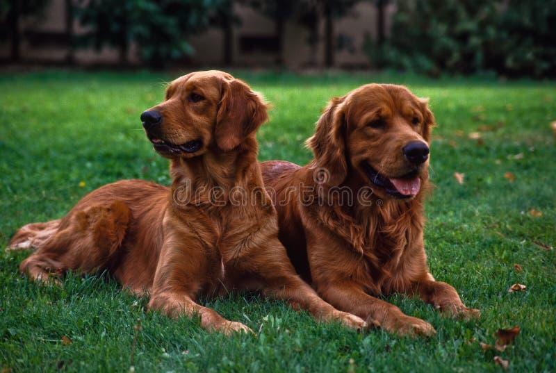 Due cani della famiglia che si distendono sul prato inglese immagini stock