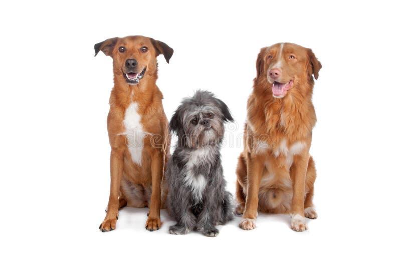 Due cani della miscela e una Nuova Scozia immagine stock
