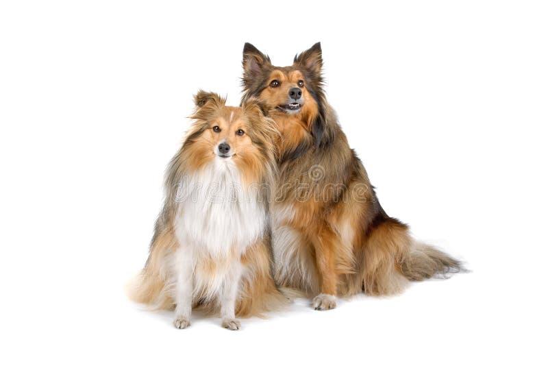 Due cani dello sheltie fotografia stock libera da diritti