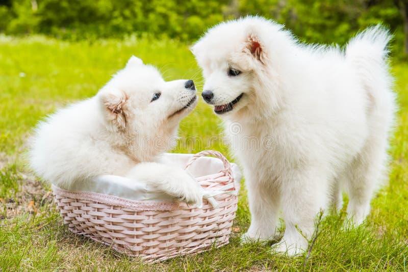 Due cani di cuccioli samoiedi divertenti nel canestro sull'erba verde immagine stock libera da diritti