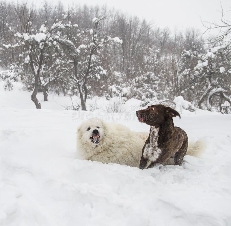 Due cani di razza combattono aggressivamente nella neve immagine stock libera da diritti