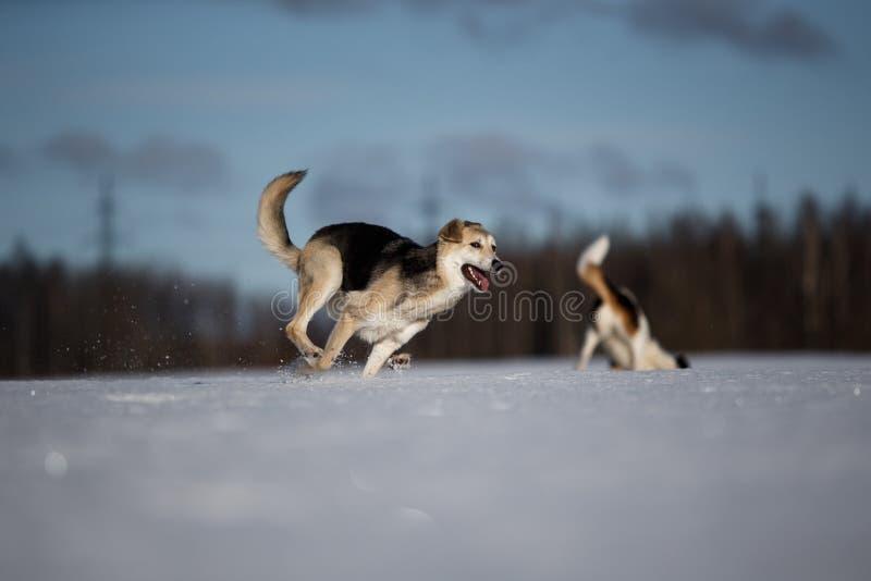 Due cani divertenti che giocano insieme sul campo di neve invernale, all'aperto fotografie stock