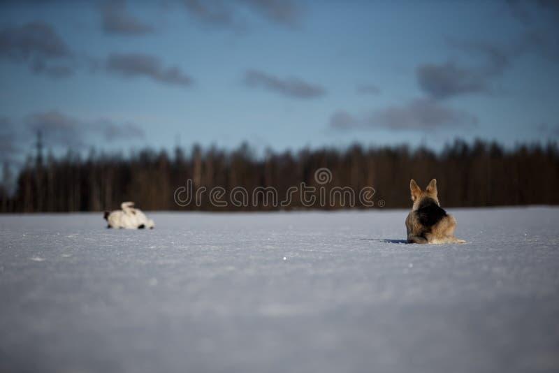 Due cani divertenti che giocano insieme sul campo di neve invernale, all'aperto immagine stock