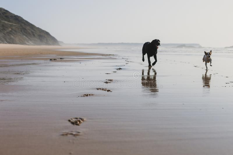 due cani felici divertendosi alla spiaggia Correndo dalla riva di mare con la riflessione sull'acqua al tramonto Piccolo cane sve immagini stock