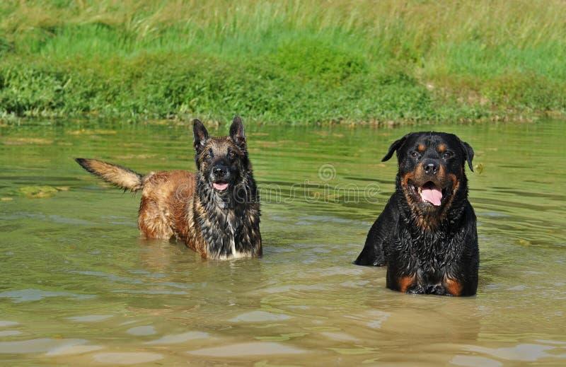 Due cani in fiume immagini stock libere da diritti