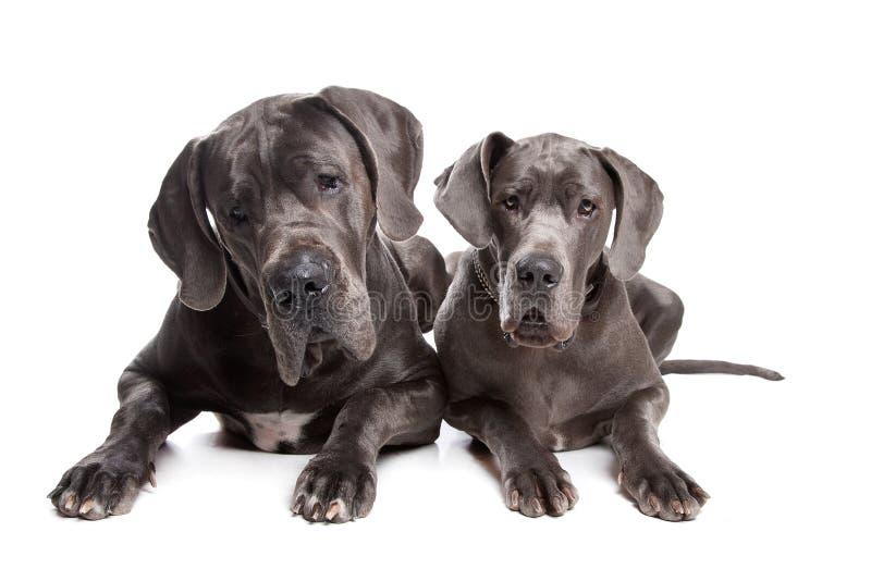 Due cani grigi del grande danese immagini stock