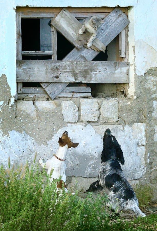 Due cani inseguono un gatto fotografie stock