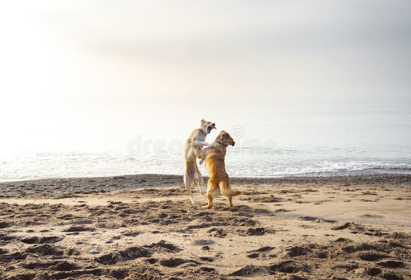 Due cani lottano allegro su una spiaggia immagini stock libere da diritti