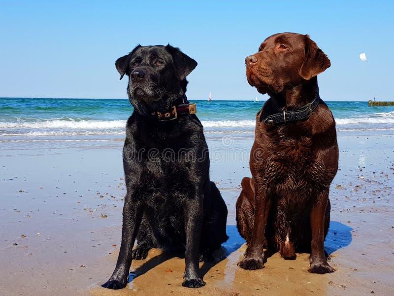 Due cani neri e labradors marroni immagine stock libera da diritti